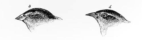 darwinbirds2